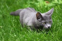 Ρωσική μπλε γάτα στοκ εικόνες με δικαίωμα ελεύθερης χρήσης