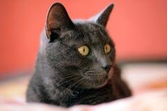 Ρωσική μπλε γάτα στο κρεβάτι Στοκ εικόνα με δικαίωμα ελεύθερης χρήσης