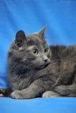 Ρωσική μπλε γάτα Στοκ Φωτογραφίες