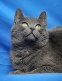 Ρωσική μπλε γάτα Στοκ Εικόνα