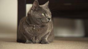 Ρωσική μπλε γκρίζα γάτα απόθεμα βίντεο