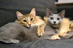 Ρωσική μπλε και νορβηγική δασική γάτα Στοκ φωτογραφίες με δικαίωμα ελεύθερης χρήσης