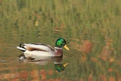 ρωσικός άγριος κόσμος αγριοτήτων φύσης παπιών Στοκ φωτογραφίες με δικαίωμα ελεύθερης χρήσης