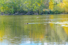 ρωσικός άγριος κόσμος αγριοτήτων φύσης παπιών Στοκ φωτογραφία με δικαίωμα ελεύθερης χρήσης