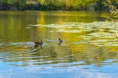 ρωσικός άγριος κόσμος αγριοτήτων φύσης παπιών Στοκ εικόνα με δικαίωμα ελεύθερης χρήσης