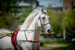 Ρωσικό άλογο Trotting orlov στην κινηματογράφηση σε πρώτο πλάνο πορτρέτου ιπποδρόμων Στοκ εικόνα με δικαίωμα ελεύθερης χρήσης