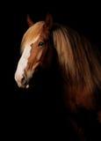 Ρωσικό βαρύ άλογο έλξης Στοκ Εικόνα