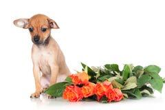 Ρωσικό κουτάβι σκυλιών παιχνιδιών που φαίνεται λυπημένο Στοκ Εικόνα