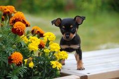 Ρωσικό κουτάβι τεριέ παιχνιδιών με τα λουλούδια Στοκ Φωτογραφία