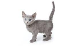 Ρωσικό μπλε γατάκι Στοκ Εικόνες