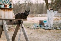 Ρωσικό μπλε γατάκι γατών με τα πράσινα μάτια που κάθονται στον ξύλινο πίνακα Στοκ Φωτογραφία