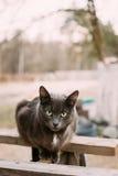 Ρωσικό μπλε γατάκι γατών με τα πράσινα μάτια που κάθονται στον ξύλινο πίνακα Στοκ φωτογραφία με δικαίωμα ελεύθερης χρήσης