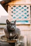 Ρωσικό μπλε γατάκι γατών με τα πράσινα μάτια που κάθονται στον ξύλινο πίνακα Στοκ Εικόνες