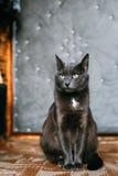 Ρωσικό μπλε γατάκι γατών που στηρίζεται στο μέρος ενός παλαιού χωριού αγροτικού Στοκ Εικόνες