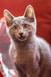 Ρωσικό μπλε γατάκι Στοκ εικόνα με δικαίωμα ελεύθερης χρήσης
