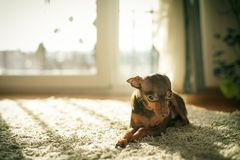 Ρωσικό σκυλί τεριέ παιχνιδιών Στοκ Φωτογραφίες