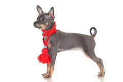 Ρωσικό σπάνιο χρώμα κουταβιών σκυλιών παιχνιδιών Στοκ Εικόνες