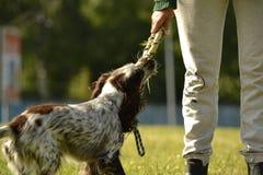 Ρωσικό σπανιέλ κυνηγιού Νέο ενεργητικό σκυλί σε έναν περίπατο Εκπαίδευση κουταβιών, cynology, εντατική κατάρτιση των νέων σκυλιών Στοκ Εικόνα