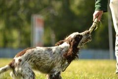 Ρωσικό σπανιέλ κυνηγιού Νέο ενεργητικό σκυλί σε έναν περίπατο Εκπαίδευση κουταβιών, cynology, εντατική κατάρτιση των νέων σκυλιών Στοκ Εικόνες