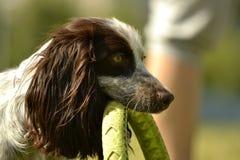 Ρωσικό σπανιέλ κυνηγιού Νέο ενεργητικό σκυλί σε έναν περίπατο Εκπαίδευση κουταβιών, cynology, εντατική κατάρτιση των νέων σκυλιών Στοκ εικόνα με δικαίωμα ελεύθερης χρήσης