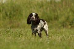 Ρωσικό σπανιέλ κυνηγιού Νέο ενεργητικό σκυλί σε έναν περίπατο Εκπαίδευση κουταβιών, cynology, εντατική κατάρτιση των νέων σκυλιών Στοκ φωτογραφίες με δικαίωμα ελεύθερης χρήσης