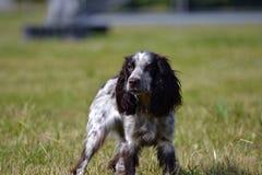 Ρωσικό σπανιέλ κυνηγιού Νέο ενεργητικό σκυλί σε έναν περίπατο Εκπαίδευση κουταβιών, cynology, εντατική κατάρτιση των νέων σκυλιών Στοκ εικόνες με δικαίωμα ελεύθερης χρήσης