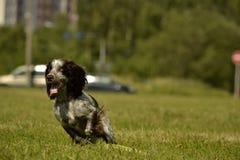 Ρωσικό σπανιέλ κυνηγιού Νέο ενεργητικό σκυλί σε έναν περίπατο Εκπαίδευση κουταβιών, cynology, εντατική κατάρτιση των νέων σκυλιών Στοκ φωτογραφία με δικαίωμα ελεύθερης χρήσης
