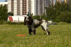 Ρωσικό σπανιέλ κυνηγιού Νέο ενεργητικό σκυλί σε έναν περίπατο Εκπαίδευση κουταβιών, cynology, εντατική κατάρτιση των νέων σκυλιών Στοκ Φωτογραφία