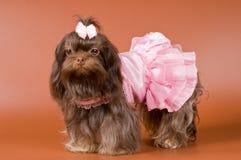 Ρωσικό χρωματισμένο σκυλάκι σαλονιού στο στούντιο στα ενδύματα για τα σκυλιά Στοκ εικόνα με δικαίωμα ελεύθερης χρήσης