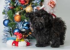 Ρωσικό χρωματισμένο σκυλάκι σαλονιού Στοκ εικόνα με δικαίωμα ελεύθερης χρήσης