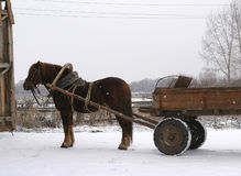 ρωσικό shire αλόγων στοκ εικόνες