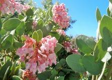 Ρόδινα άνθη Β Pringlei arctostaphylos Manzanita άνοιξης στοκ φωτογραφία