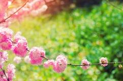 ρόδινα άνθη θάμνων την άνοιξη με τα ρόδινα λουλούδια φυσική ταπετσαρία Έννοια της άνοιξη Ανασκόπηση για το σχέδιο Στοκ Εικόνες