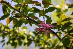 Ρόδινα άνθη καβούρι-Apple στον κλάδο δέντρων Στοκ Εικόνες