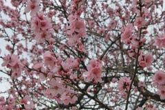 Ρόδινα άνθη κερασιών Οι κλάδοι βρίσκονται σε όλη την εικόνα στοκ φωτογραφία