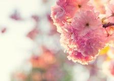 Ρόδινα άνθη κερασιών στοκ φωτογραφίες με δικαίωμα ελεύθερης χρήσης