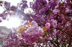 Ρόδινα άνθη της Apple αναμμένα από τον ήλιο άνοιξη, ανθίζοντας κλάδοι των δέντρων της Apple Στοκ Φωτογραφία