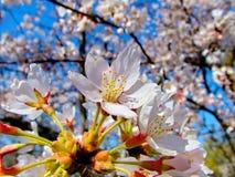 Ρόδινα άνθη της Apple ενάντια στο μπλε ουρανό Στοκ Εικόνες