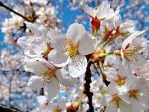 Ρόδινα άνθη της Apple ενάντια στο μπλε ουρανό Στοκ εικόνες με δικαίωμα ελεύθερης χρήσης