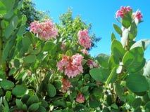 Ρόδινα άνθη Pringlei arctostaphylos Manzanita άνοιξης στοκ εικόνα με δικαίωμα ελεύθερης χρήσης