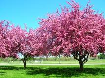 ρόδινα δέντρα άνθισης Στοκ Εικόνες