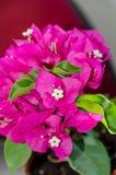 Ρόδινα διακοσμητικά λουλούδια Bougainvillea, κλάδος λουλουδιών εγγράφου Στοκ Εικόνα
