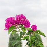 Ρόδινα διακοσμητικά λουλούδια Bougainvillea, κλάδος λουλουδιών εγγράφου Στοκ εικόνες με δικαίωμα ελεύθερης χρήσης