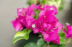 Ρόδινα διακοσμητικά λουλούδια Bougainvillea, κλάδος λουλουδιών εγγράφου Στοκ φωτογραφία με δικαίωμα ελεύθερης χρήσης
