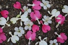 Ρόδινα και άσπρα αιμορραγώντας λουλούδια καρδιών με τα άνθη κερασιών που διασκορπίζονται στο πεζοδρόμιο στοκ εικόνα με δικαίωμα ελεύθερης χρήσης