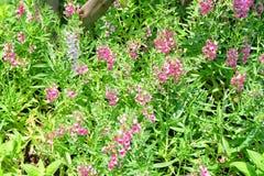 Ρόδινα και άσπρα λουλούδια Angelonia Goyazensis Benth Στοκ Εικόνες