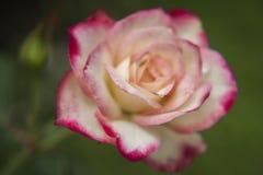 Ρόδινα και άσπρα τριαντάφυλλα στον κήπο/το τροπικό Rose Garden Στοκ Εικόνες