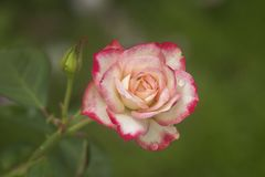 Ρόδινα και άσπρα τριαντάφυλλα στον κήπο/το τροπικό Rose Garden Στοκ Φωτογραφίες