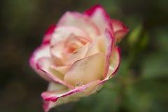 Ρόδινα και άσπρα τριαντάφυλλα στον κήπο/το τροπικό Rose Garden Στοκ Φωτογραφία