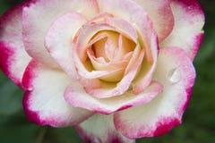 Ρόδινα και άσπρα τριαντάφυλλα στον κήπο/το τροπικό Rose Garden Στοκ φωτογραφία με δικαίωμα ελεύθερης χρήσης